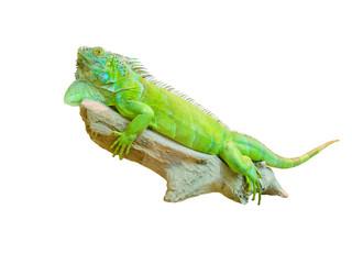 green iguana lizard isolated on white