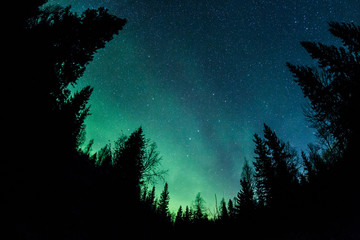 Wall Mural - Northern lights above a forest
