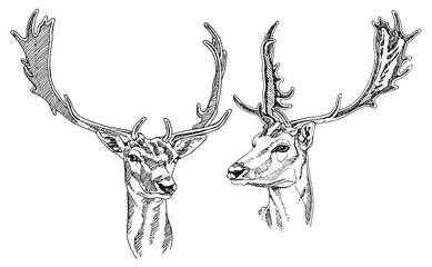 Hand drawn Fallow Deer heads. Vector illustration.