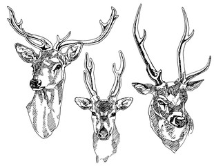 Set of hand drawn deer heads. Vector illustration.