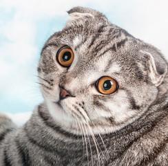 orange eyes Scottish Fold cat, portrait