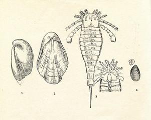Borealis borealis1 et estonus2, Eurypterus fisheri3, lingula4
