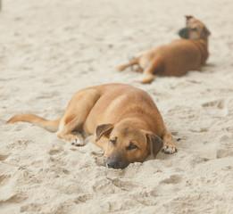 dog sleeps in the sand
