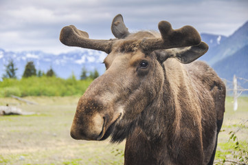 Moose in Alaska (USA)