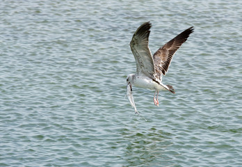 Herring seagull picked up a big fish from the water