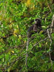 Cute Dusky Langur sitting on a tree