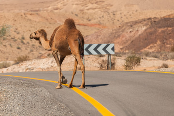 Camel walking along the road in the desert