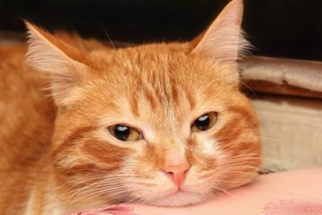 Red cat closeup