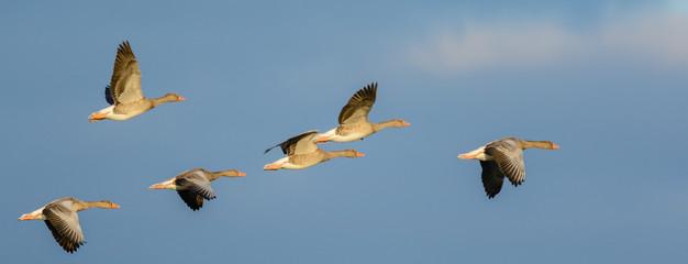 Flock of Greylag Geese (Anser anser) in flight.