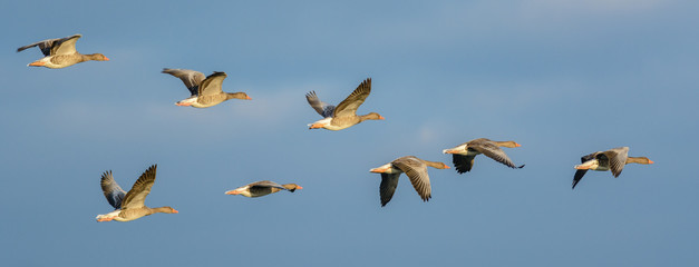 Flock of Greylag Geese (Anser anser) in flight.