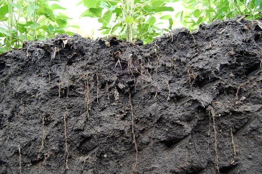 Soybeans roots