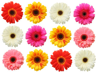Garden Poster Gerbera Colorful gerbera on white background isolated