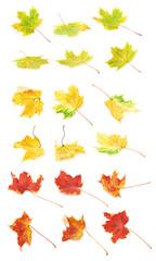 Multiple autumn colored maple leaves