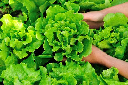 picking lettuce plants in vegetable garden
