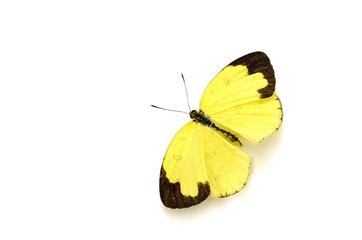 Beautiful yellow butterfly (Common Grass Yellow, Eurema hecabe c