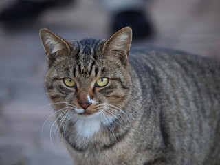 見つめる丸顔の猫