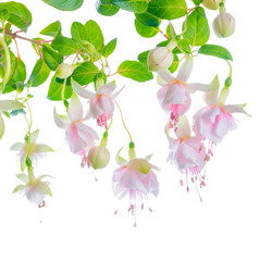 blossoming beautiful delicate white with pink fuchsia, isolated