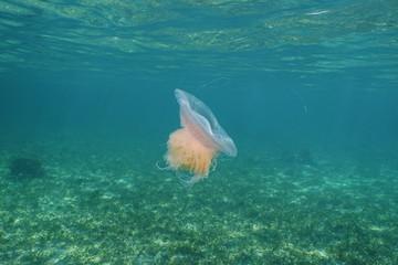 Pink Meanie jellyfish Drymonema larsoni