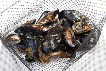 Fresh mussels on net