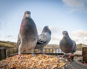 Pigeons eating corn on birdtable