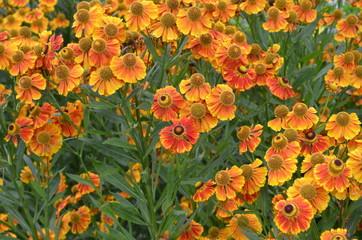 Malerblumen