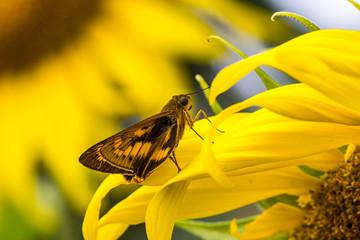 Bush Hopper Butterfly (Hesperiidae: Ampittia dioscorides) on sun