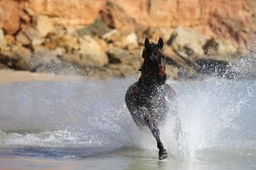 Quarterhorse im Meer