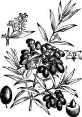 Vintage Illustration branch olive