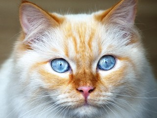 Close-up of white-brown cat with blue eyes