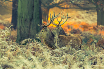 Wall Mural - Red deer