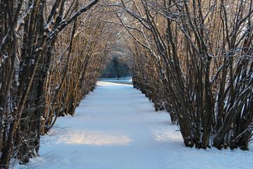Hazel tree avenue a sunny winter day