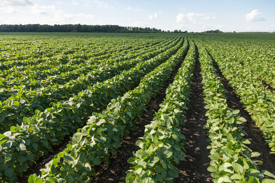 Rows of young soybean plants