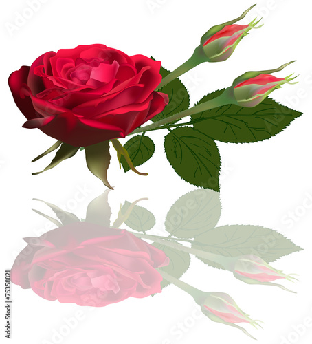 Single red rose flower and two buds with reflection for Pliage serviette bouton de rose