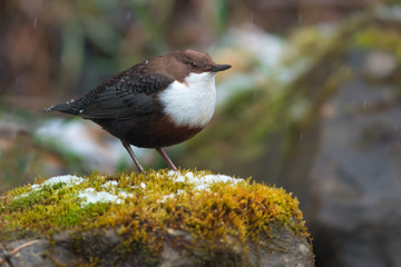 White-throated dipper in winter