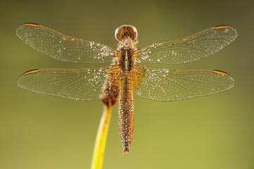 libellula su sfondo verde