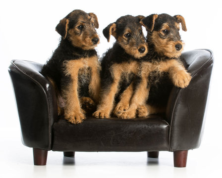 airedale terrier litter