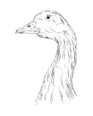 A goose head