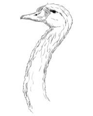 A swan head