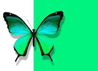 Green butterfly flying on white green background