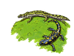 Tailed amphibians, newt and salamander