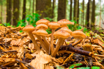 group of mushrooms honey agarics close-up in the woods