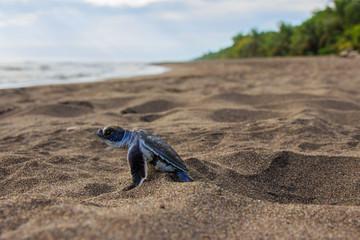 Junge Suppenschildkröte