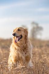 Outdoor portrait of golden retriever