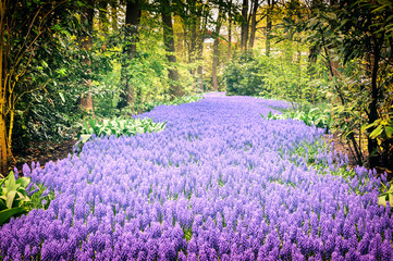 Beautiful purple muscari in Keukenhof Gardens