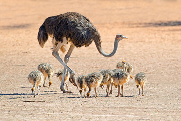 Ostrich with chicks, Kalahari desert