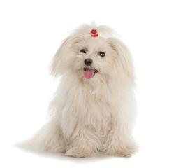 Fototapete - White Maltese dog on white background