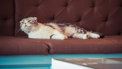 gray beautiful adult cat, breed scottish-fold,