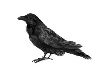 Black crow illustration