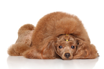 Wall Mural - Red Toy poodle on white background