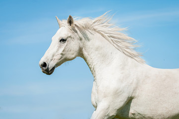Portrait of white running horse